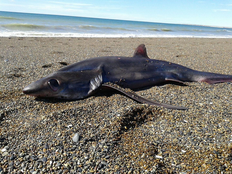 Lujoso Tiburón Cazón Anatomía Externa Elaboración - Imágenes de ...